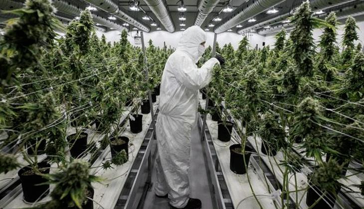 ¿Fracaso de la legalización en Canadá? El país tiene un excedente de marihuana sin vender de 1.1 mil millones de gramos...